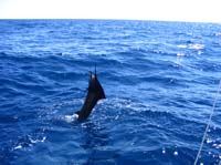 jumping sailfish photo