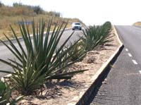agave on roadside